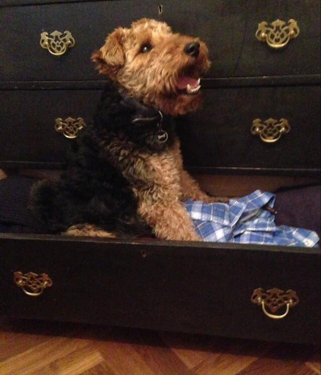 Welsh Terrier in a drawer