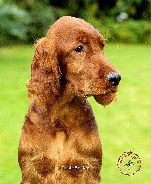 irish setter puppies | ... unique mouse mat designs/Dogs/Irish Setter/Irish Setter 9T004D-353