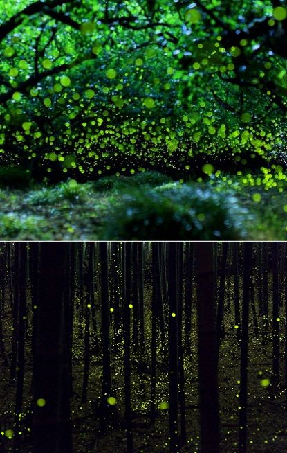 Firefly Forest in Japan, located in Chugoku region in Japan