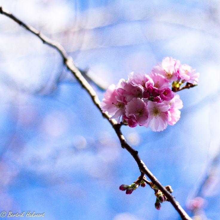 #lente #lentekriebels #bloesem #roze #blauwelucht