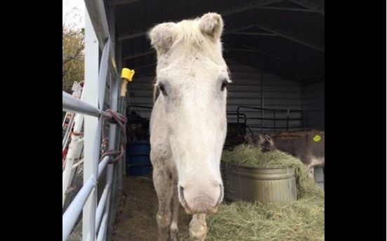 Horse Saves Himself From Slaughter - Becky's Hope Horse Rescue went to a local auction to bail out some mini donkeys that needed rescuing and ended up coming home with a trailer full. As the donkeys were making their way to bein…
