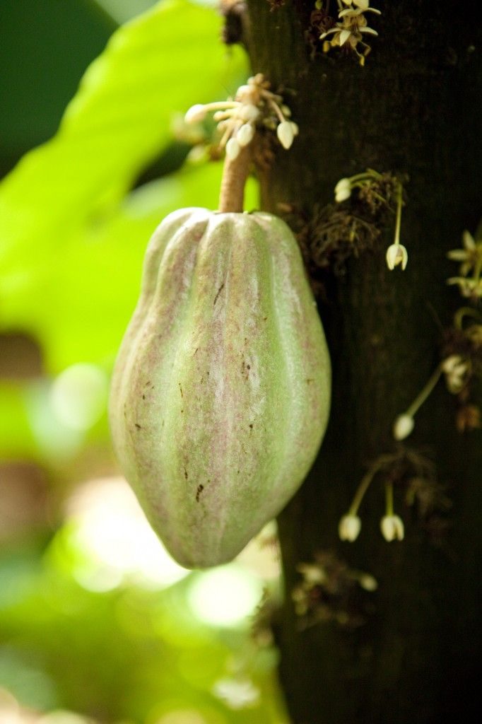It's not ready to make its way into a batch of s'mores just yet, but I'd say our cacao fruit is looking more and more delectable each day. You can catch it now in the rain forest of the Enid A. Haupt Conservatory.