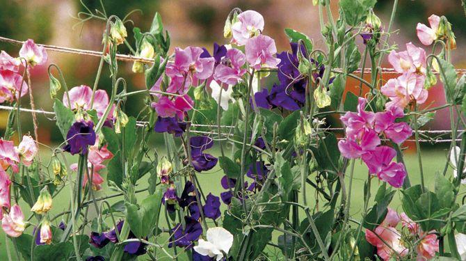 Hrachor, kapucínka, plamienok: Popínavé rastliny na balkón