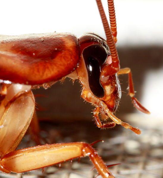 Es cierto que las cucarachas pueden vivir sin la cabeza? Detalle de la cabeza de la cucaracha americana (Periplaneta americana). Normalmente si a un animal le cortan la cabeza en poco tiempo morirá. Sin embargo la cucaracha puede sobrevivir hasta varias semanas sin ella. Como es posible?  La explicación tiene que ver con su sistema respiratorio. En lugar de tener pulmón o branquias y al igual que todos los insectos las cucarachas respiran mediante unos tubos llamados tráqueas que se…