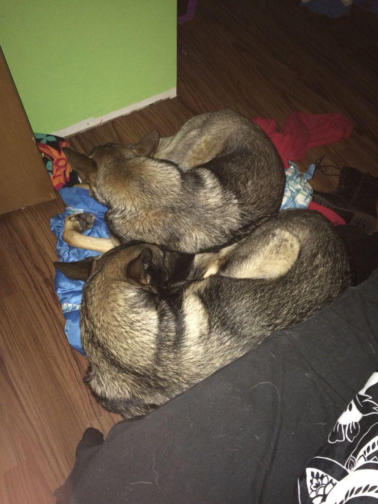 My german shepards cuddling