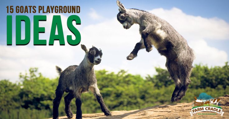 15 Goat's Playground Ideas For Your Farm - Goats are very active farm creatures. They love to wander around, lounge, or find stuff to head butt. They can be playful especially when they are kids. But even thougn if you have a big land you have for them to roam, they can become bored. Bored goats lead to unhappy goats and unhappy goats,... - http://farmcradle.com/15-goats-playground-ideas-for-your-farm/