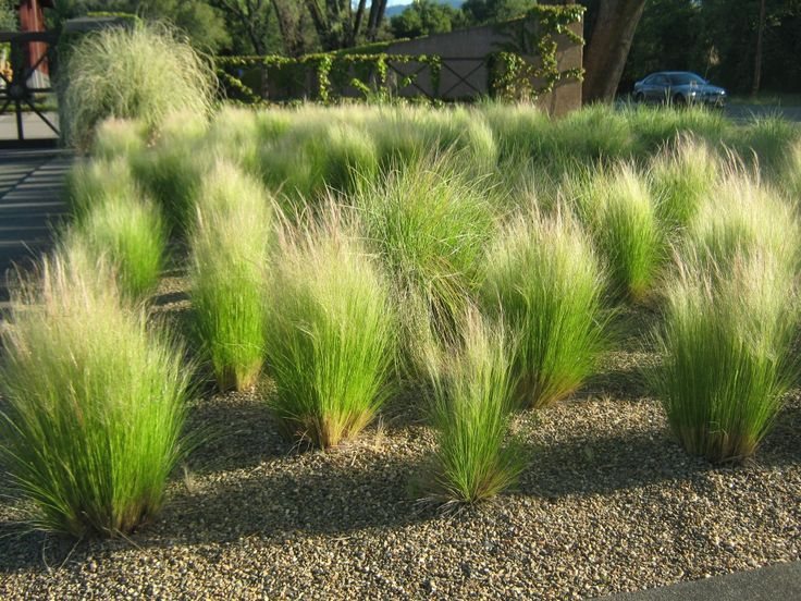 Nassella Tenuissima Mexican Feather Grass Planting