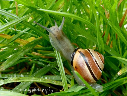 Banded Snail  Also known as the brown-lipped snail, cepaea nemoralis is the most colourful and variable snail in the UK. The shell may vary in colour, a... - Shaz H - Google+