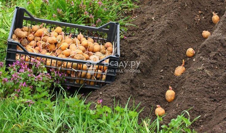 Различные способы ручной и механической посадки картофеля.  Посадка картофеля весной: как правильно посадить, когда сажать картошку, как подготовить клубни к посадке. Способы механической и ручной посадки картофеля