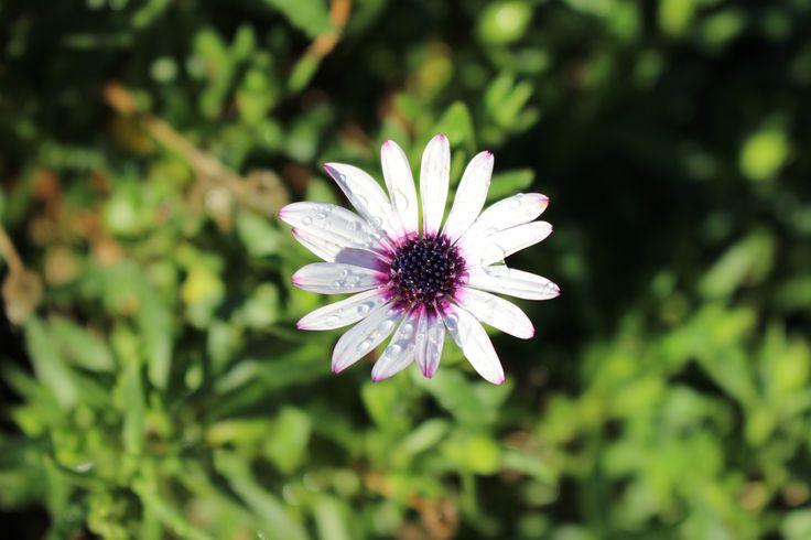 Flor blanca con gotitas de agua...