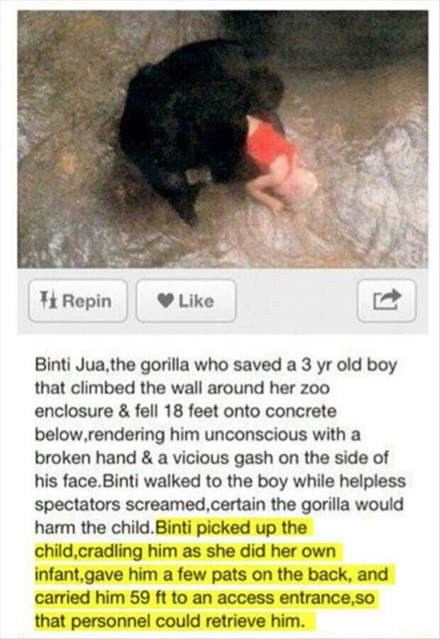 Good gorilla named Binti Jua