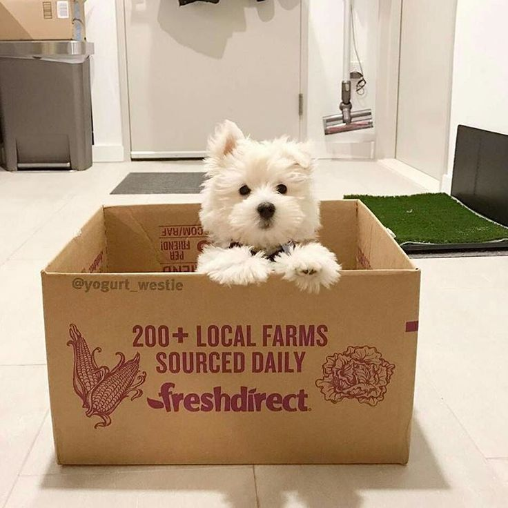 "5,948 Likes, 77 Comments - Westie Moments® (@westiemoments) on Instagram: ""Best Westie & Hoodies EVER in @westiemoments profile❗ Satisfaction guarantied❗ Worldwide…"""