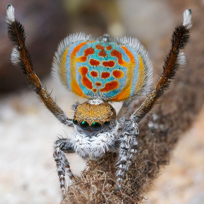 New Species Of Peacock Spider Described | I Fucking Love Science  I'd never thought I'd describe a spider as adorable. And here he is. Check out the video, quirky little fellows.