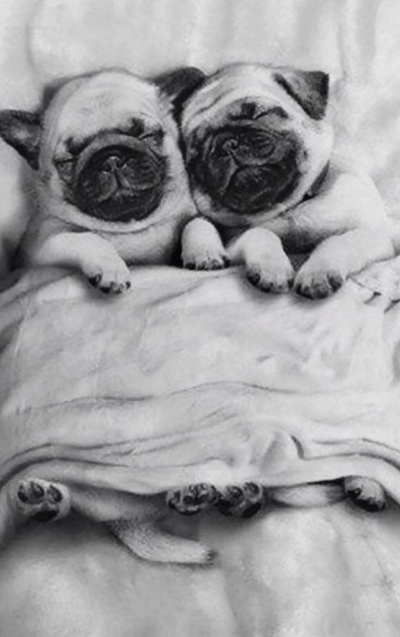 Show Picture Of Pug Dogs Originally Look Like