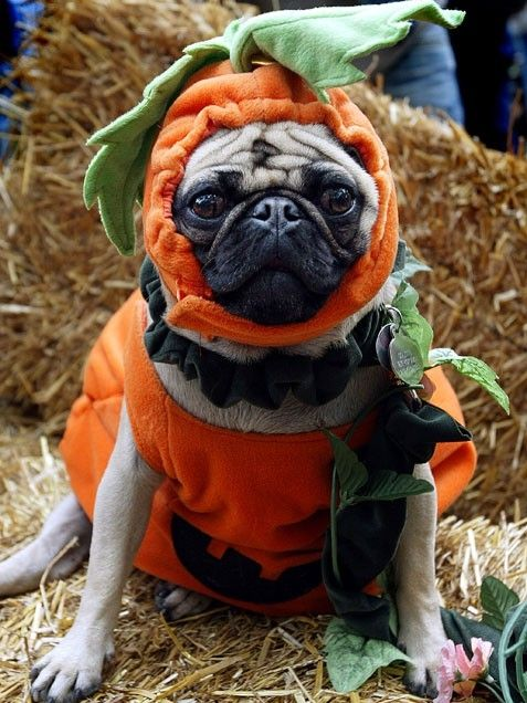 jack o lantern pumpkin pug dogs pugs in costumecute costumeshalloween - Pugs Halloween Costumes
