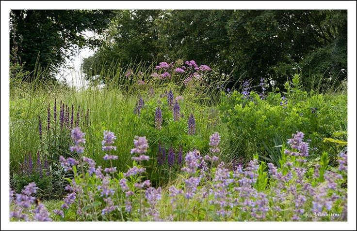 A detail in the 'blue' garden. In front Nepeta, in the middle Salvia 'Mainacht' and a Lupine, on the left-hand side Salvia 'Caradonna', on the right-hand side Baptisia 'Purple Smoke', in the back Thalictrum aquilegifolium 'Thundercloud' and in between the grass Festuca mairei.