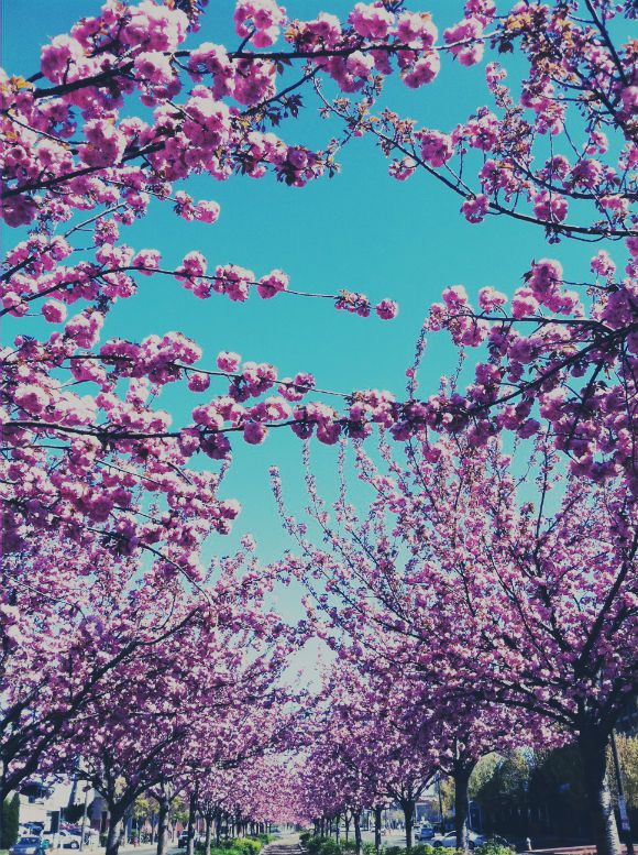 purplesHello Spring, London, Pink Trees, Beautiful Trees, Philadelphia Weather, Blossoms Roads, Beautiful Purple, Freepeople Blog, Floral Confetti