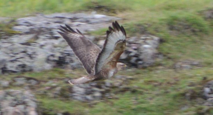 Buzzard being chased by crows!