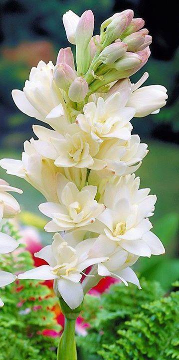 Nardos en flor
