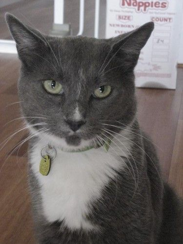 LOST Grey & White Cat – Marrickville NSW 2204 http://shar.es/xDixf
