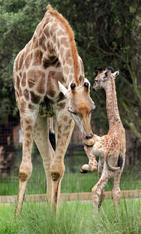 """Mother giraffe teaches baby the HOKEY POKEY. """"You put your left hoof in..."""" RePinned By: *Doniele Disney* www.poppiespaintpowder.com"""