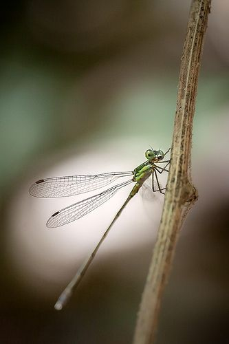 Eastern Willow Spreadwing (Lestes parvidens) male damselfly.
