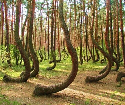 crooked forest - poland