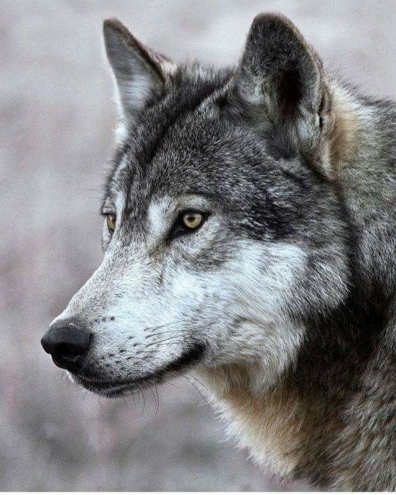 gorgeous gray wolf.