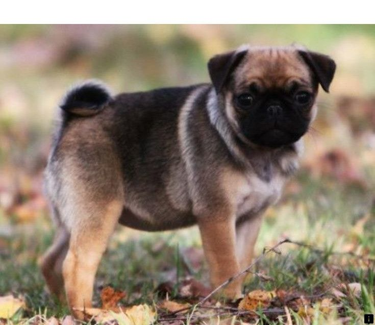Learn About Black Pug Puppies For Sale Near Me Simply Click Here