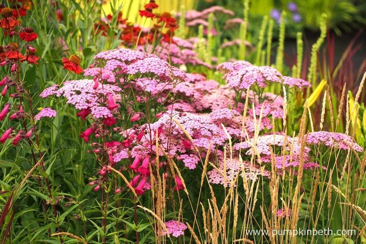 Achillea 'Pretty Belinda' and Penstemon 'Andenken an Friedrich Hahn', pictured in the Colour Box Garden, at the RHS Hampton Court Palace Flower Show 2017.