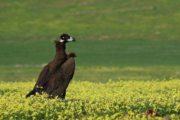 Andalucía cede nuevos ejemplares de buitre negro para reforzar las poblaciones de la especie en Europa | SoyRural.es