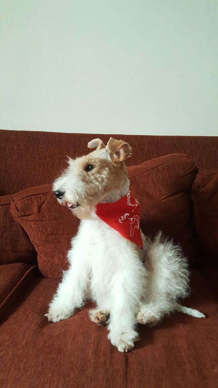 Frida, our little Fox Terrier.