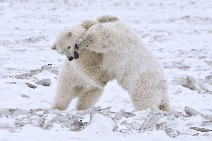 Настоящие хозяева Арктики. Белый медведь — один из самых крупных наземных представителей млекопитающих отряда хищных (уступает лишь морскому слону). Его длина достигает 3 м, масса до 1 т. Обычно самцы весят 400—450 кг, длина тела 200—250 см, высота в холке до 130—150 см.