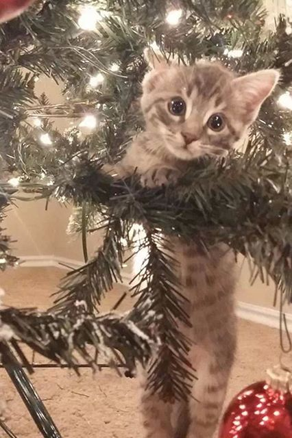12 cats who are just so confused by Christmas: