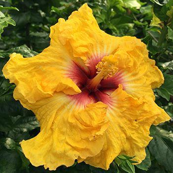 "Exotic Hibiscus  ''Yellowmania"""