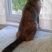 Cherry Hill, New Jersey - Domestic Shorthair. Meet Emily, a for adoption. https://www.adoptapet.com/pet/19674688-cherry-hill-new-jersey-cat