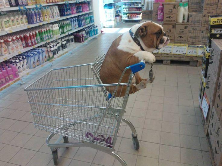 shop til ya drop #english #bulldog #englishbulldog #bulldogs #breed #dogs #pets #animals #dog #canine #pooch #bully #doggy #funny #fun #lol