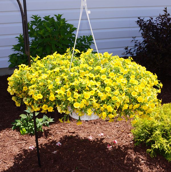 Hanging Flower Baskets In Full Sun : Best images about annual flowers on exotic
