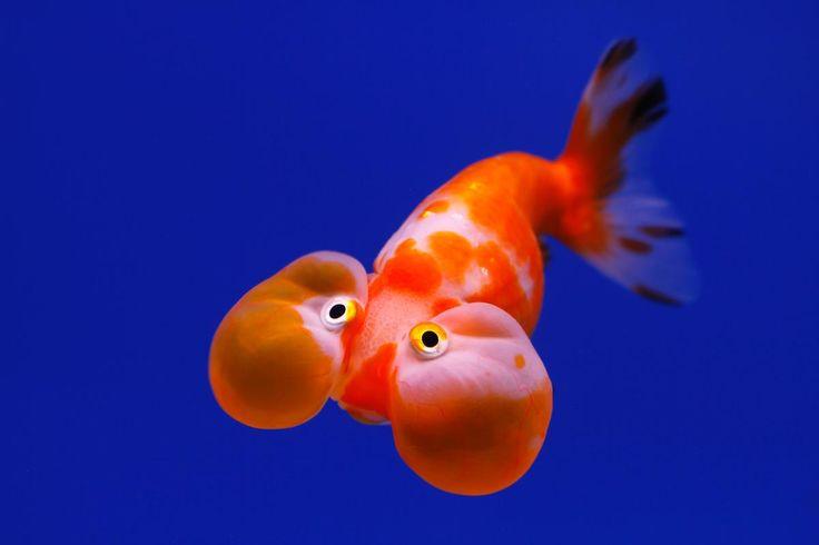 Les 25 meilleures id es de la cat gorie bubble eye for Poisson rouge koi aquarium
