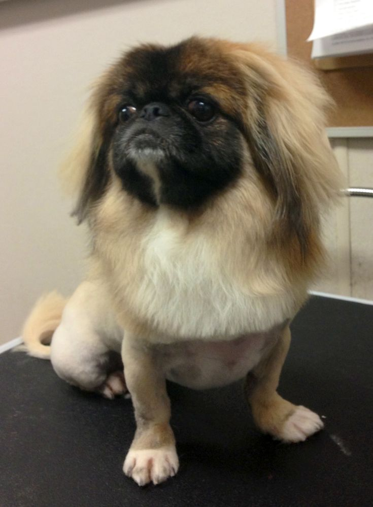 Pekingese lion cut :)Pekingese Grooms, Furries Legs, Pekingese Lion, Pekingese Cut, Pets Stylz, Dogs Grooms, Furries Friends, Peking Lion, Pekignese Lion Cut