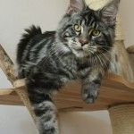Maine Coon Black Silver Blotched IT*Leaena Silver Surfer