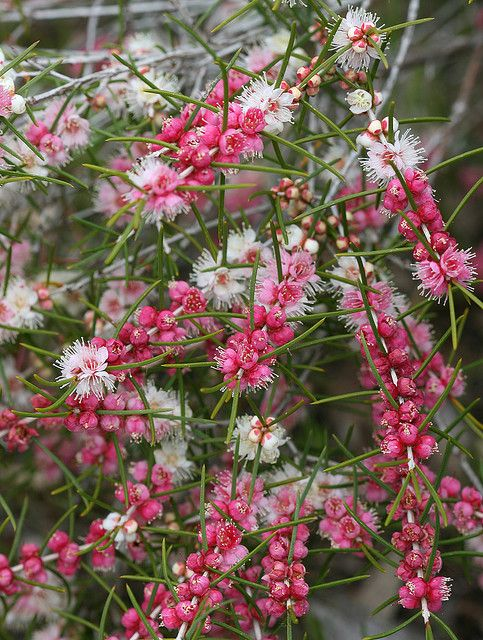 Hypocalymma angustifolium - Common name is Pink-Flowered Myrtle or White Myrtle…