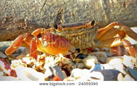 Rock crab on the beach