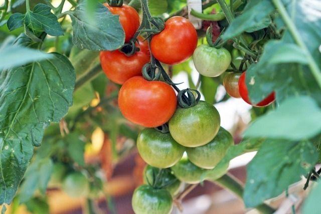 家庭菜園でトマトを収穫 失敗知らずのトマト栽培をはじめよう