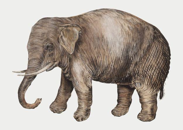 Download Vintage Asian Elephant Illustration In Vector For Free Elephant Illustration Animal Clipart Asian Elephant