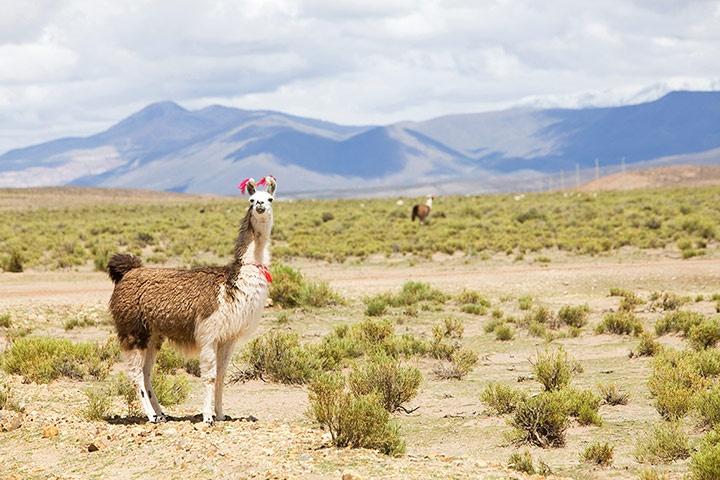 """""""Llama roam the Eduardo Avaroa national reserve"""": Desert, Llama Roam, Llama Forever, Alpacas, Animal"""