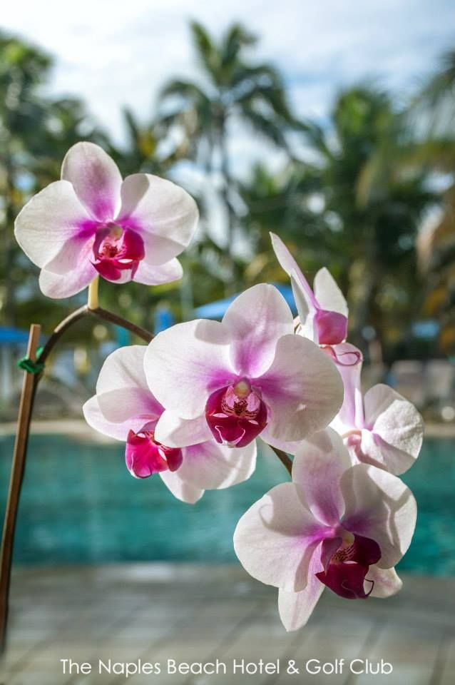 Beautiful Orchids at Naples Beach Hotel & Golf Club