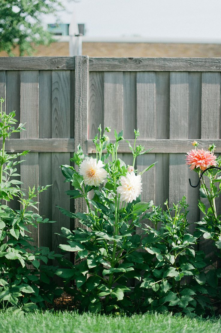 how to grow dahlias // wit & delight
