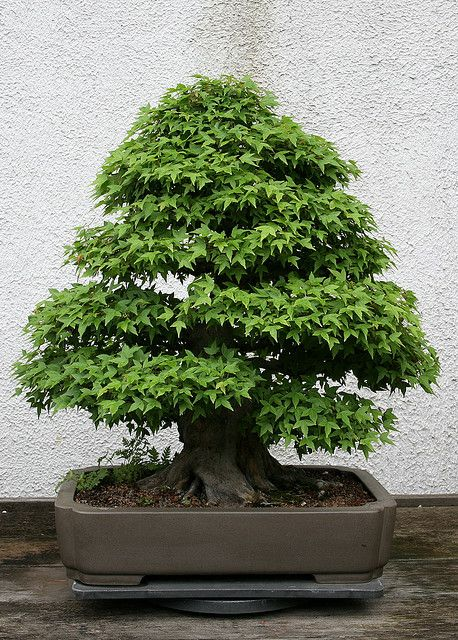 Trident Maple (Acer Buergerianum) Bonsai... It's a Matter of Dedication and Perseverance to Obtain Beauty and a Sense of Looking a Peace of Living Art.