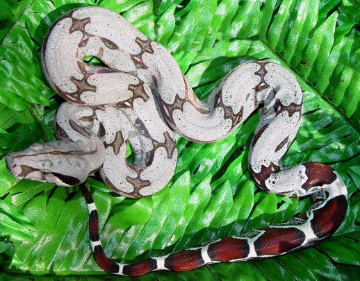 Suriname Red Tail Boa. my baby.  Visit Colton's profile on Pinterest.